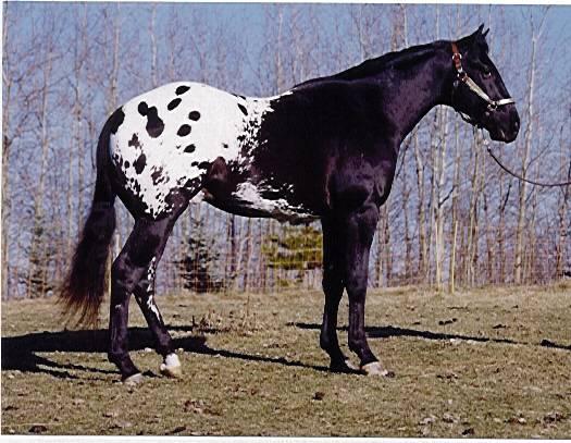 A Canadian Navajo; Large size=300pixels